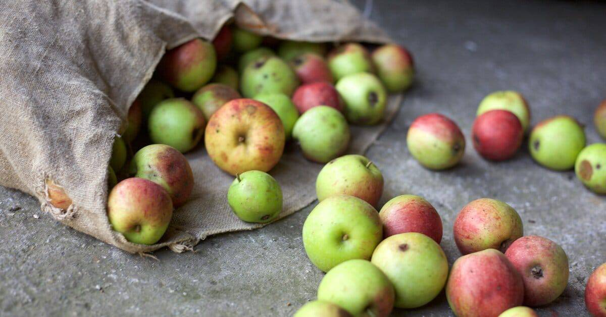 Apples rolling out of brown paper bag